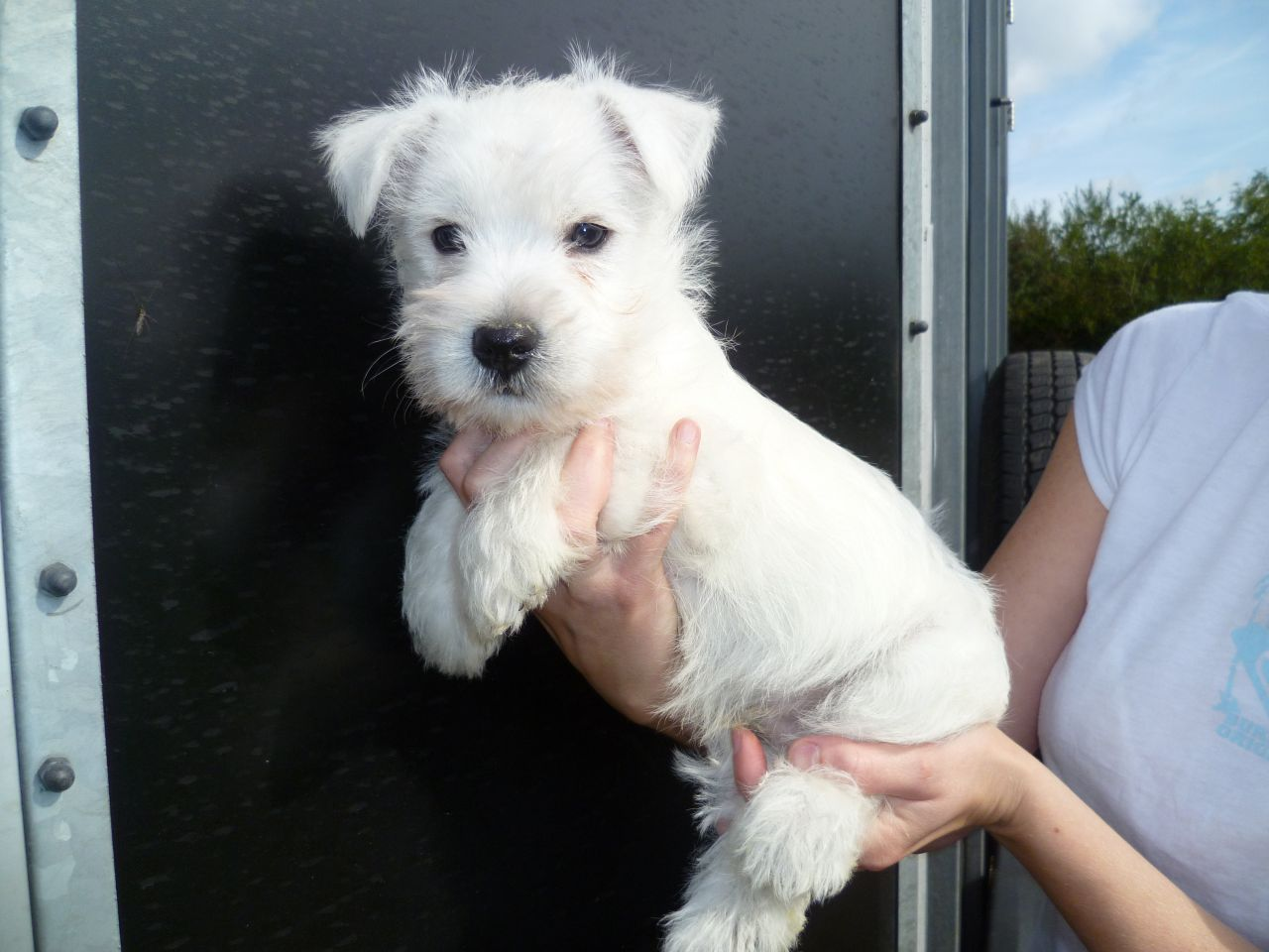 They might look cute and cuddly, but West Highland Terriers would much rather be running about than sitting on a couch. Bursting with energy, curiosity and playfulness, Westies are often game for activity.