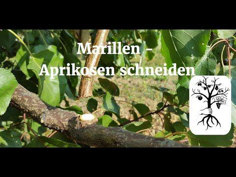marillenbaum aprikosenbaum richtig schneiden marillenbaumschnitt leicht erkl rt youtube. Black Bedroom Furniture Sets. Home Design Ideas