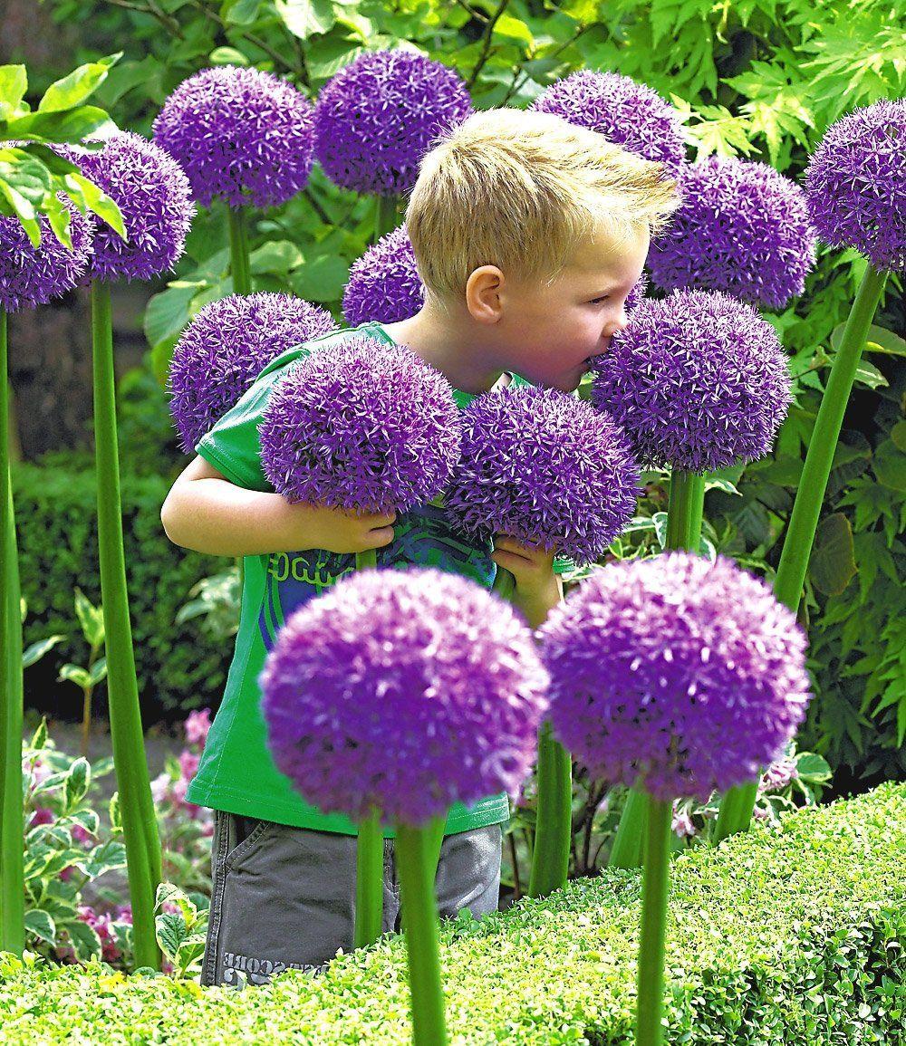 Purple Giant Allium Giganteum Beautiful Onion Magenta Perennial Flower Seed 100 Seeds Okrasne Traviny Kvetiny Trava