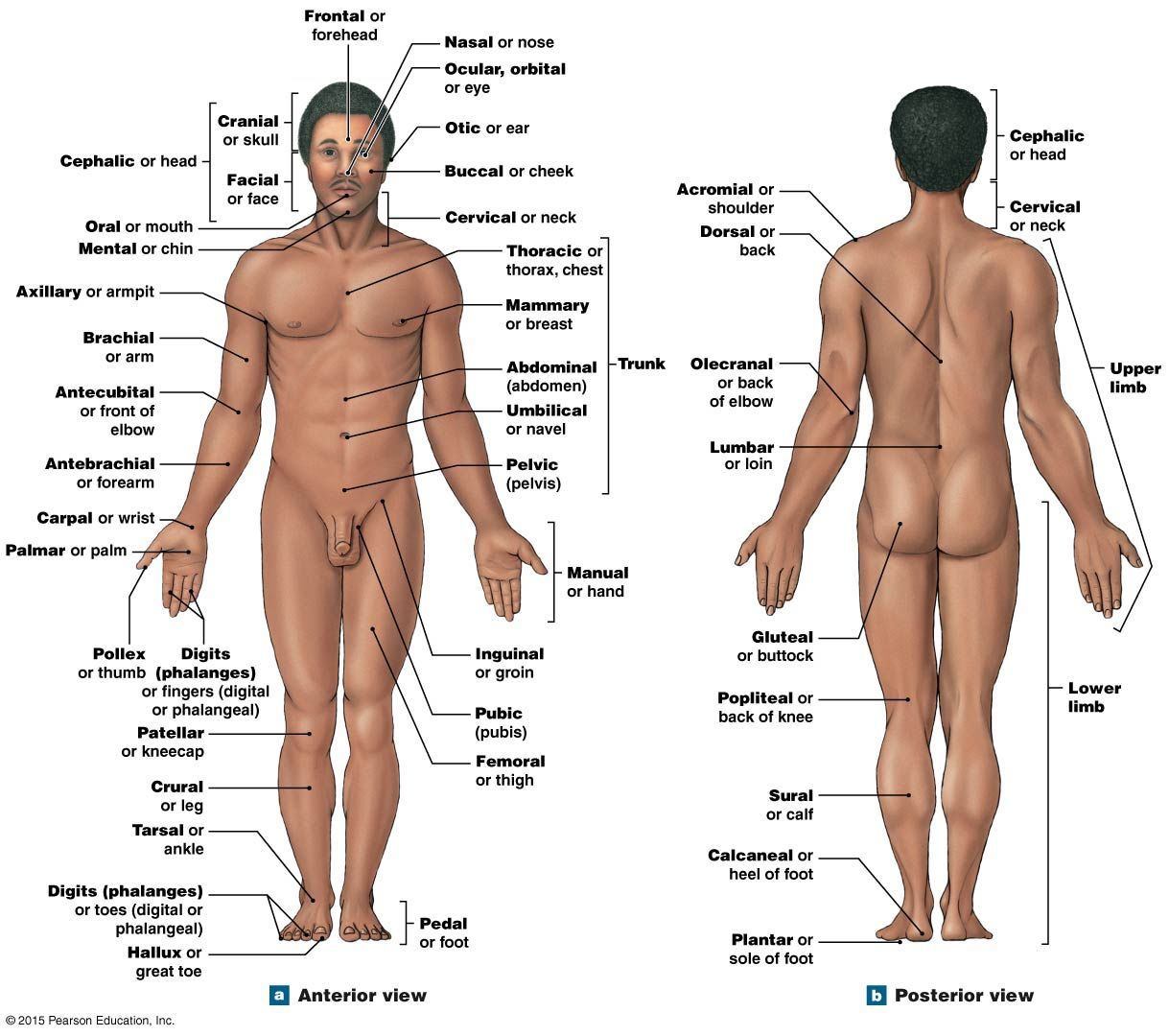 Anatomical Landmarks | anatomy&phys | Pinterest