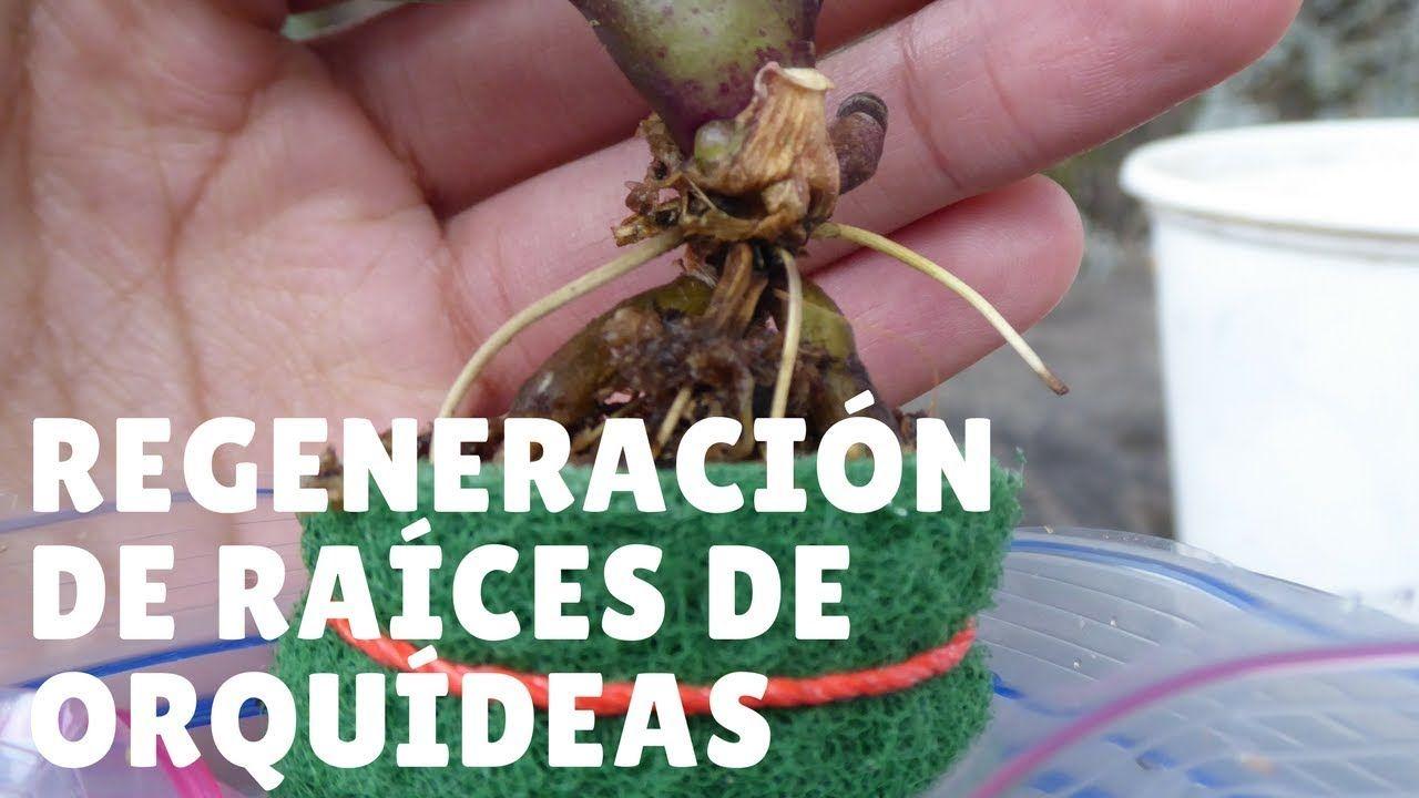 Salvar Orquídea con raíces podridas #2: Regeneración de raíces ...