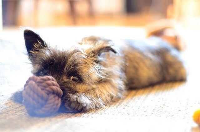 Hiding Cairn Terrier Puppies Terrier Puppies Cairn Terrier