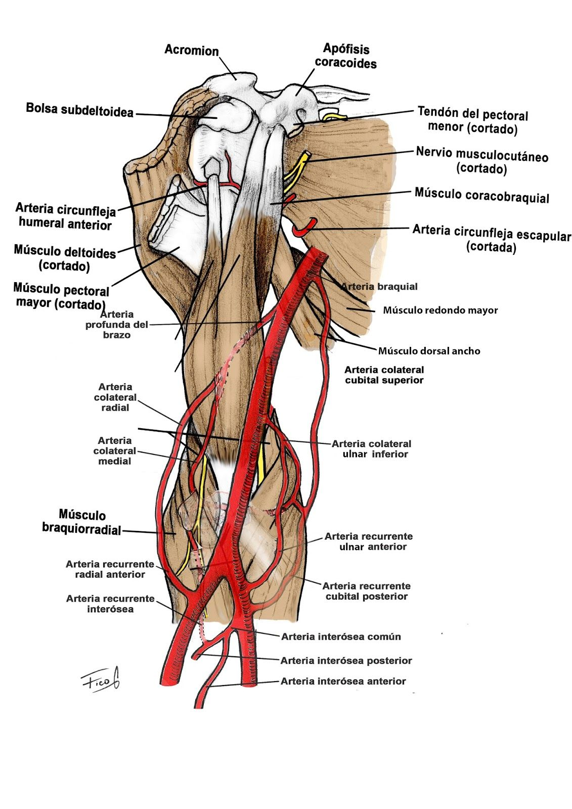 arm%2Bcomplete.jpg | Anatomía miembro superior | Pinterest ...