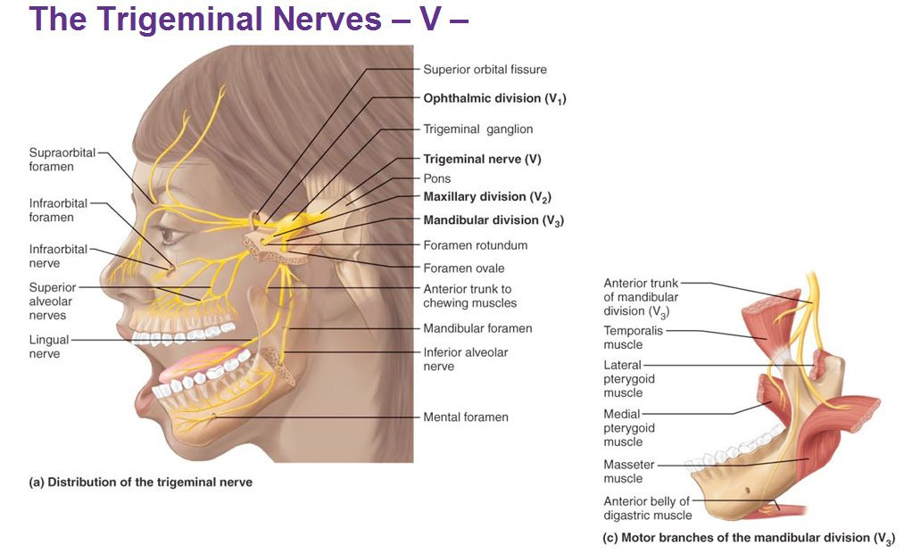 trigeminal nerves ophthalmic maxillary mandibular ganglion | The ...