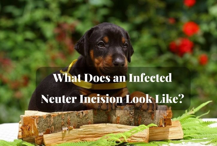 What Does An Infected Neuter Incision Look Like Neuter Animal