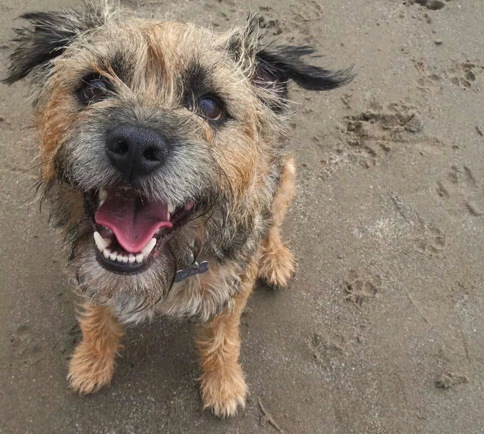 Happy Border Terrier I Miss Copper So Much Must Have A Border In