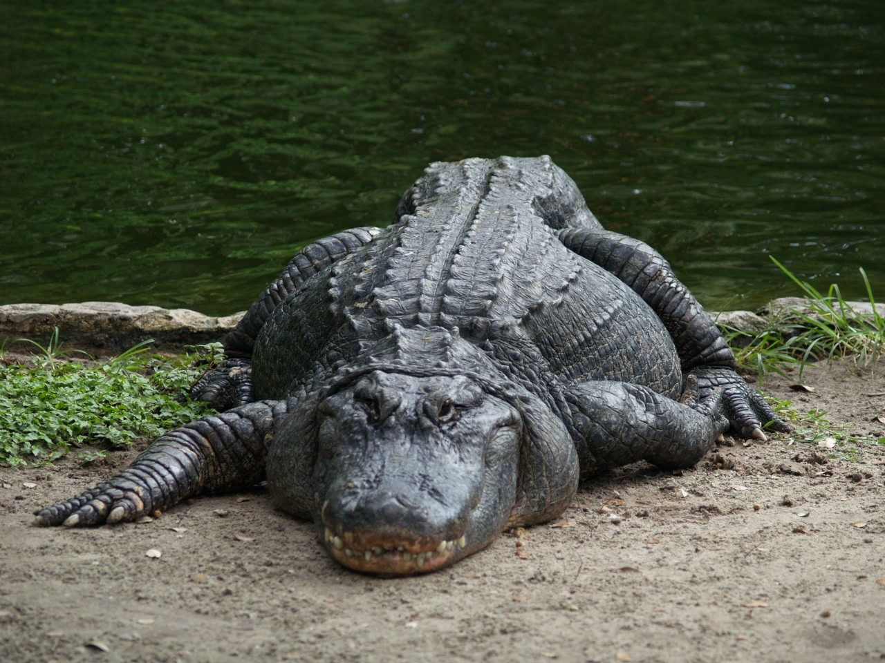 I love alligators too. they're the greatest Animals