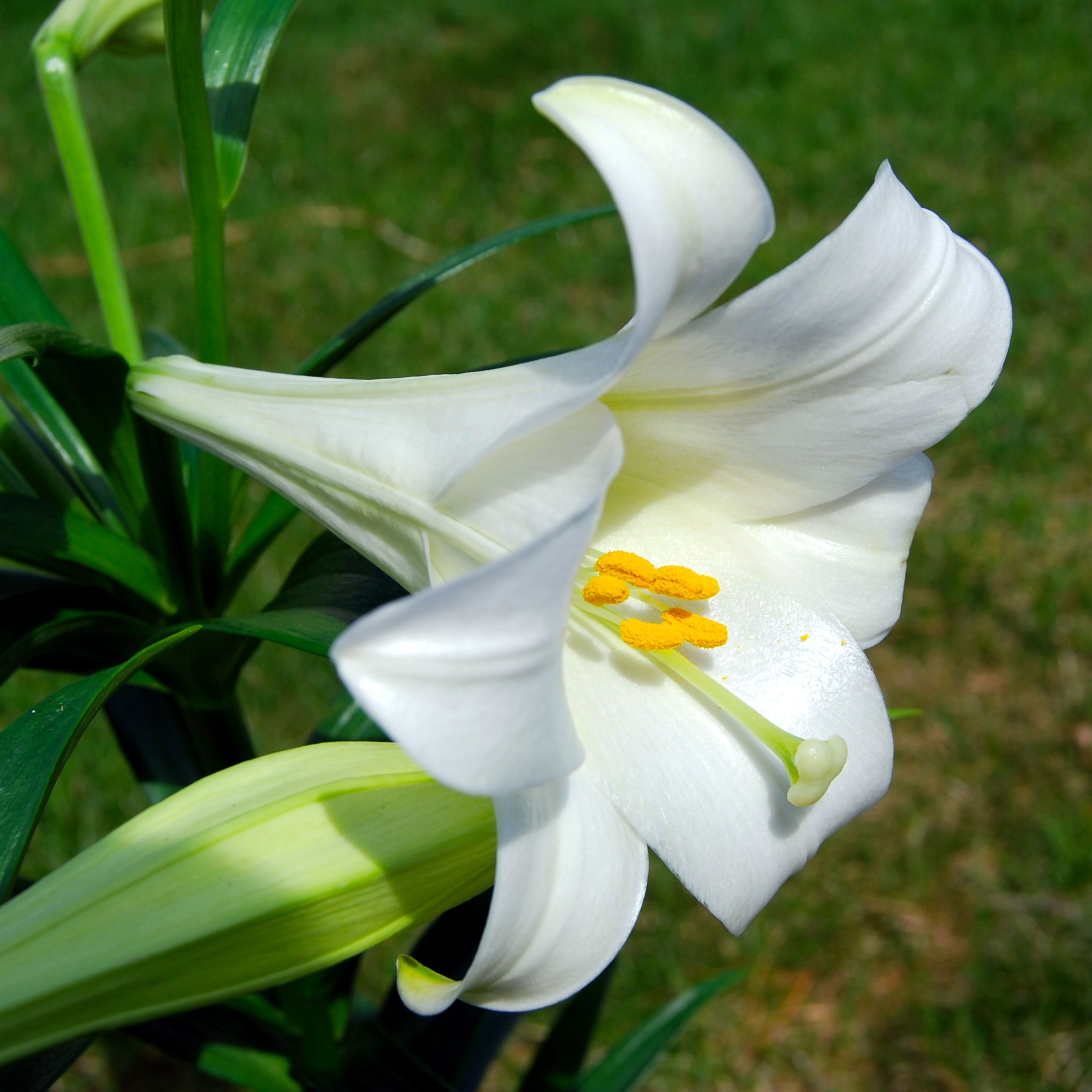 Easter Lily Toxic To Cats Symptoms Flowers Pinterest Lilium
