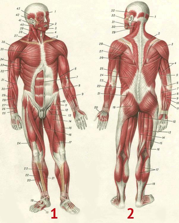 мышцы человека в картинках настоящее время прозвище