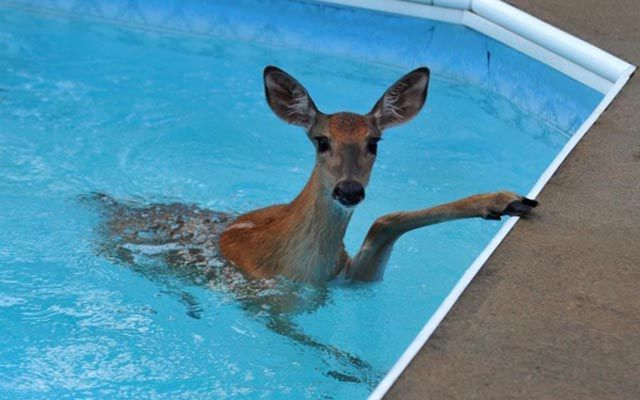 There Are Animals In The Swimming Pool 18 Pics Animals Animals Beautiful Deer