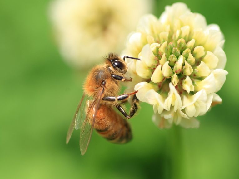 HONEY BEES | Honey Bee Numbers Drop