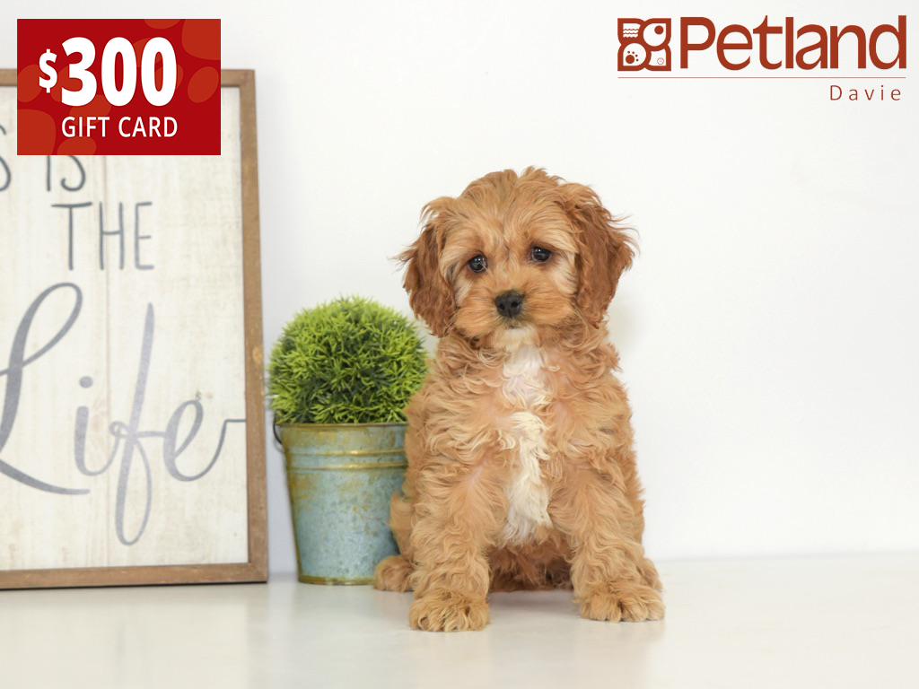 A Cockapoo is an adorable lifetime friend. Find your