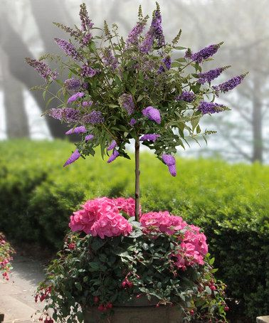 Pink Butterfly Bush Patio Tree By