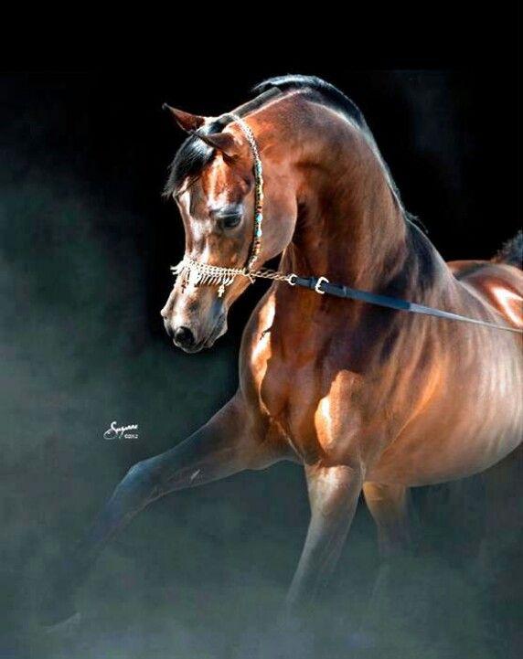 Gorgeous Arab Stallion