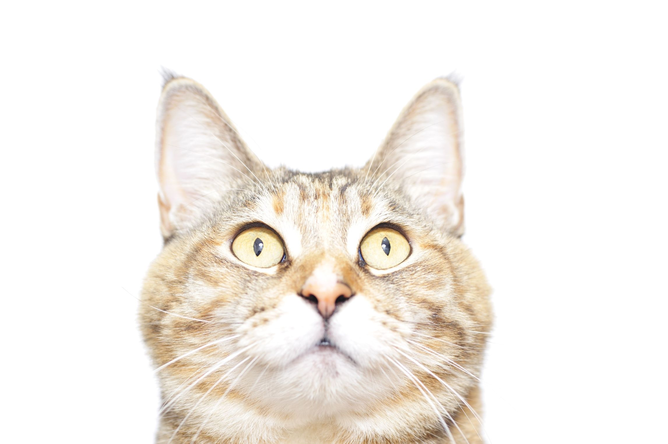 Normal Blood Glucose Ranges for Cats Cuteness Cats