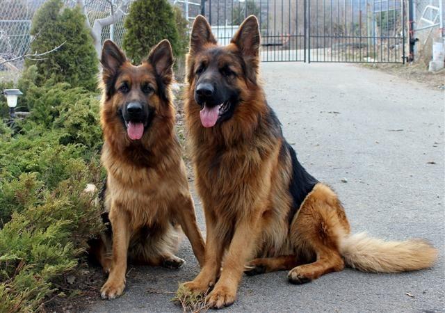 Australian Shepherd Dog Breed Information, Pictures ...