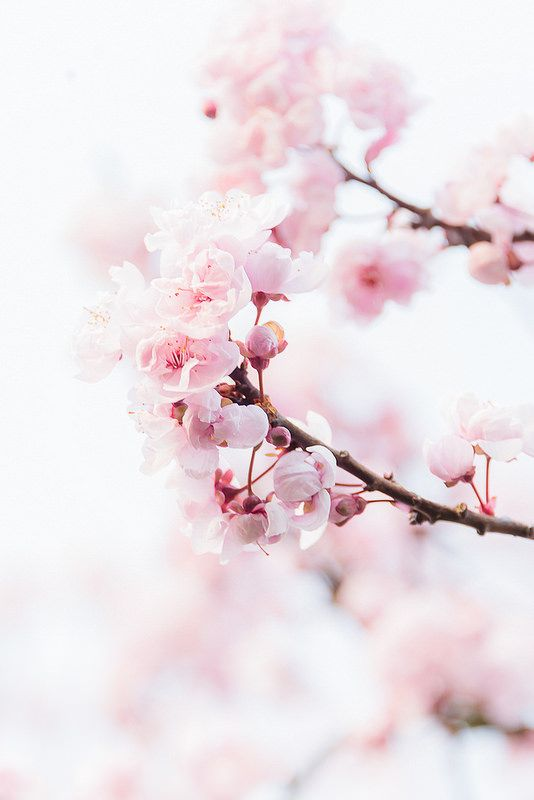 Cherry Blossoms Cherry Blossom Wallpaper Spring Wallpaper