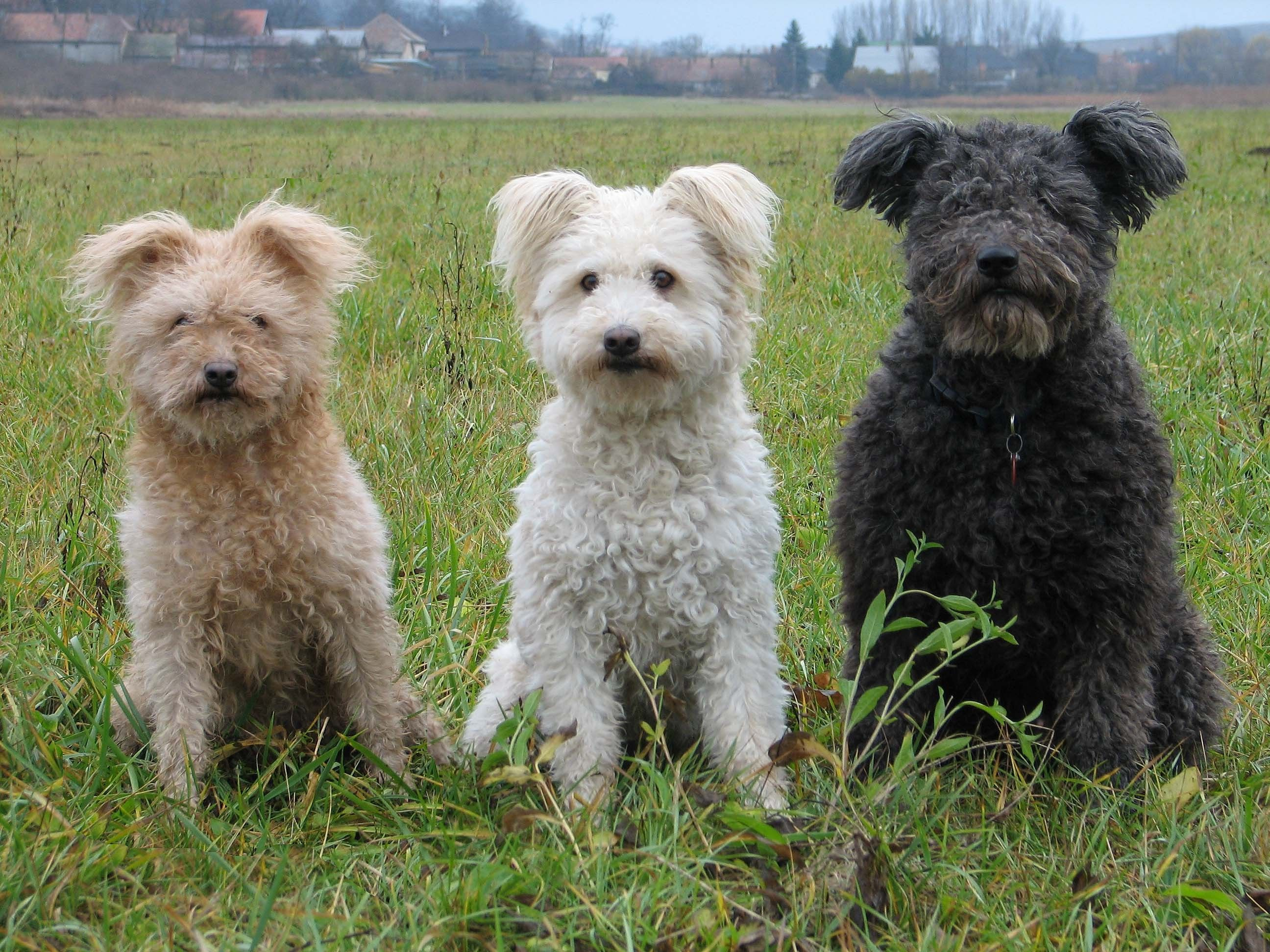 Terrier escoces wiki