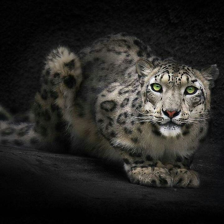 Green eyed snow leopard
