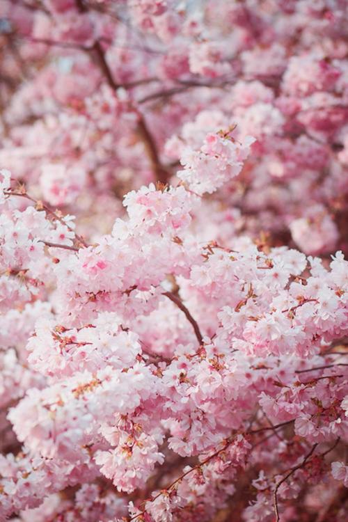 Mona Mina Blossom Flower Blossom Trees Flower Aesthetic