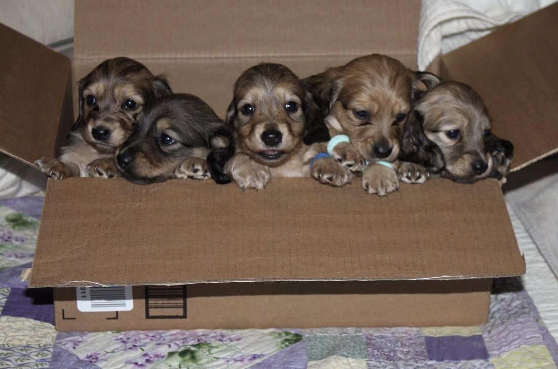 Miniature Dachshund Puppies For Sale English Cream Dachshunds