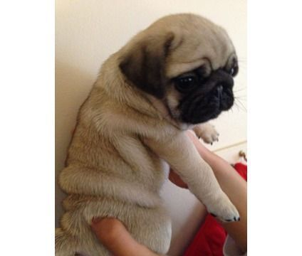 Public Spirited Black Fawn Male And Female Pug Puppies For Sale