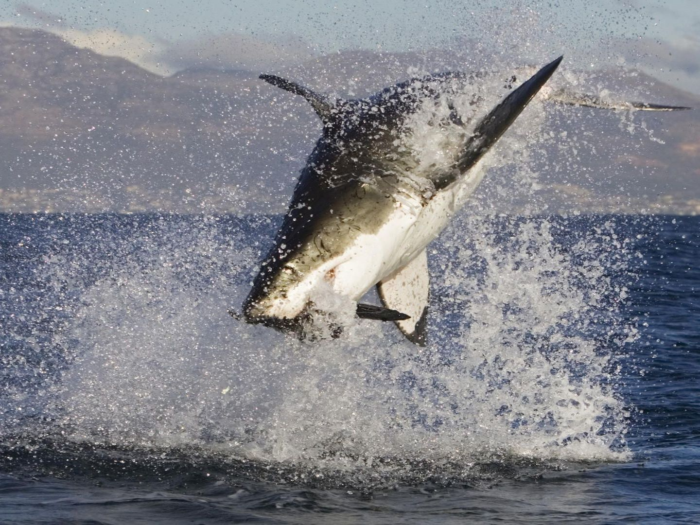 Shark water White sharks, Great white shark attack