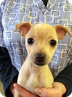 Glastonbury Ct Dachshund Chihuahua Mix Meet Angela Chiweenie A Puppy For Adoption Dachshund Adoption Puppy Adoption Pets