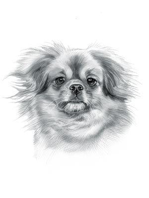 Tibetan Spaniel Dog Tibetan spaniel, Spaniel art, Dog