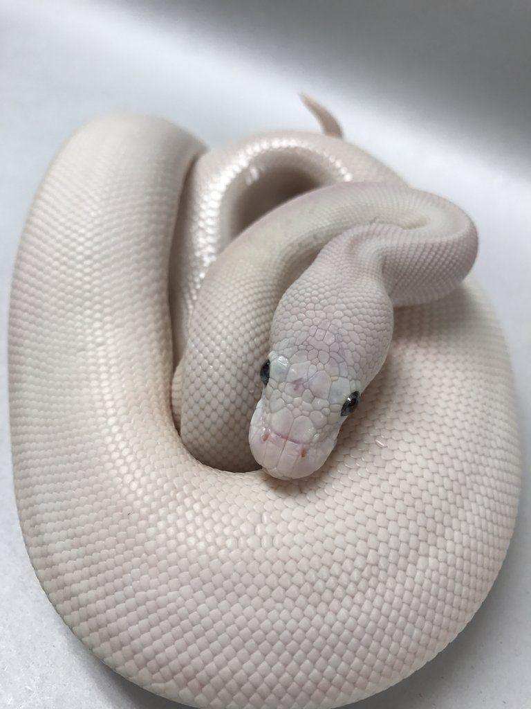 Leucistic Ball Python