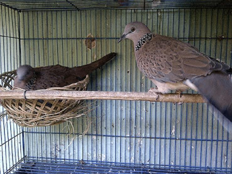 Inilah Cara Sukses Untuk Penangkaran Burung Derkuku Burung Jalak