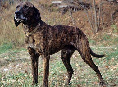 Plott Hound Large Dog Breeds