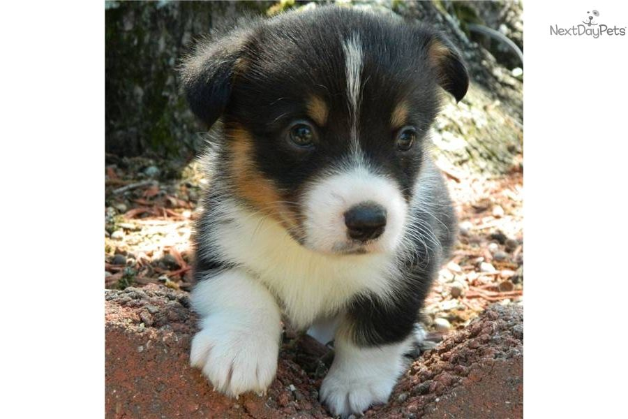 Tri Colored Corgi Pups Corgi Pembroke Puppy For Sale For