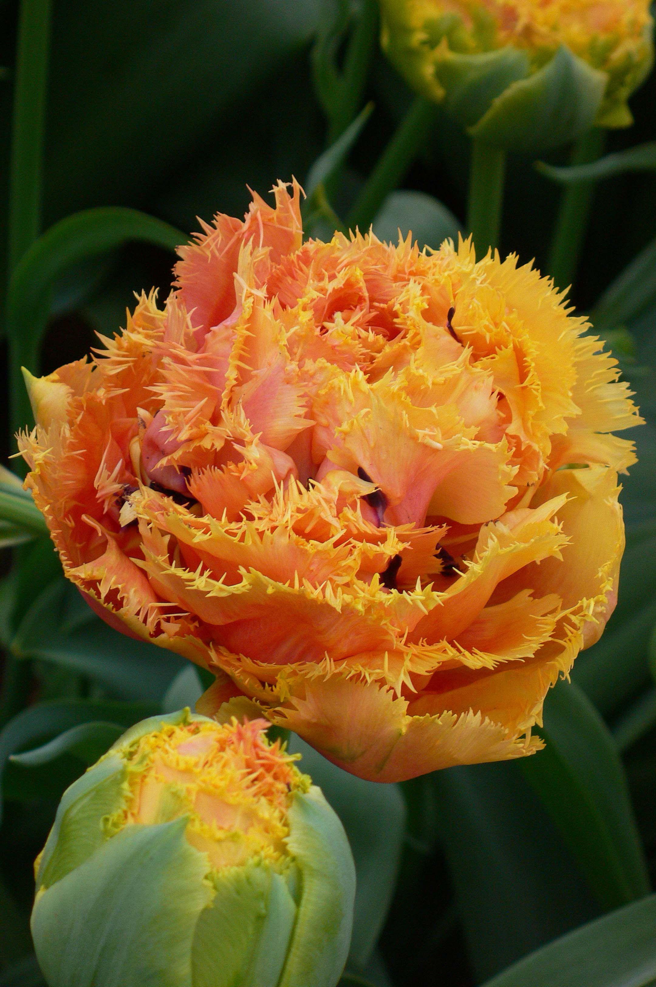 Tulip Sensual Touch   Dutch Garden World