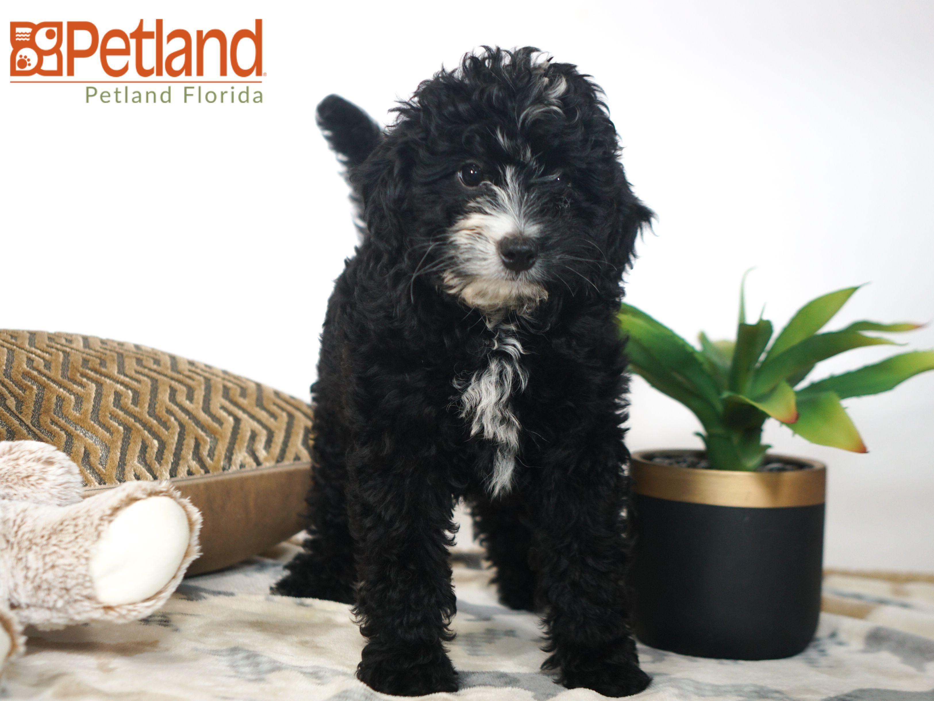 Petland Florida has Miniature Bernadoodle puppies for sale