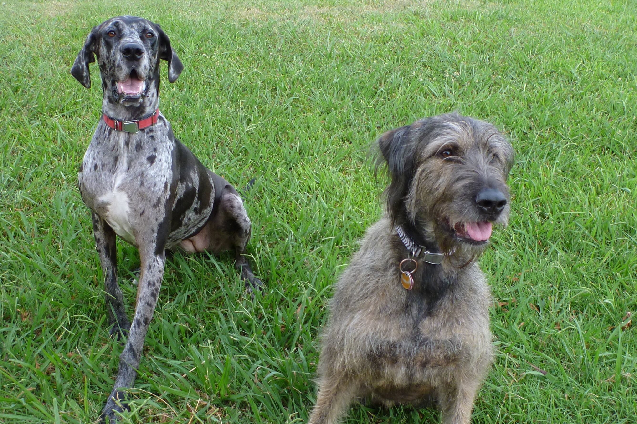 Our Girls Great Dane Irish Wolfhound Mix Besties Irish