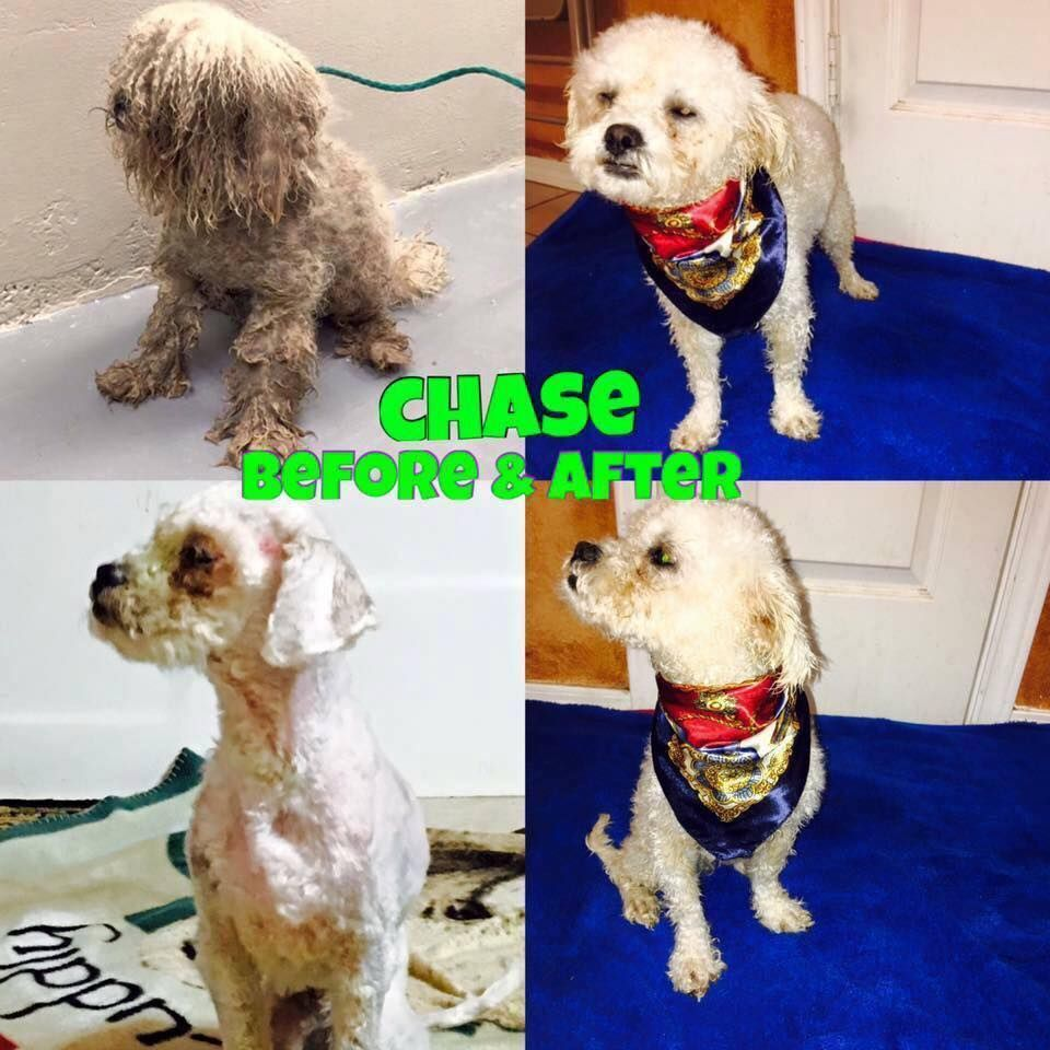 Poodle Miniature Dog For Adoption In Toms River Nj Adn 441697