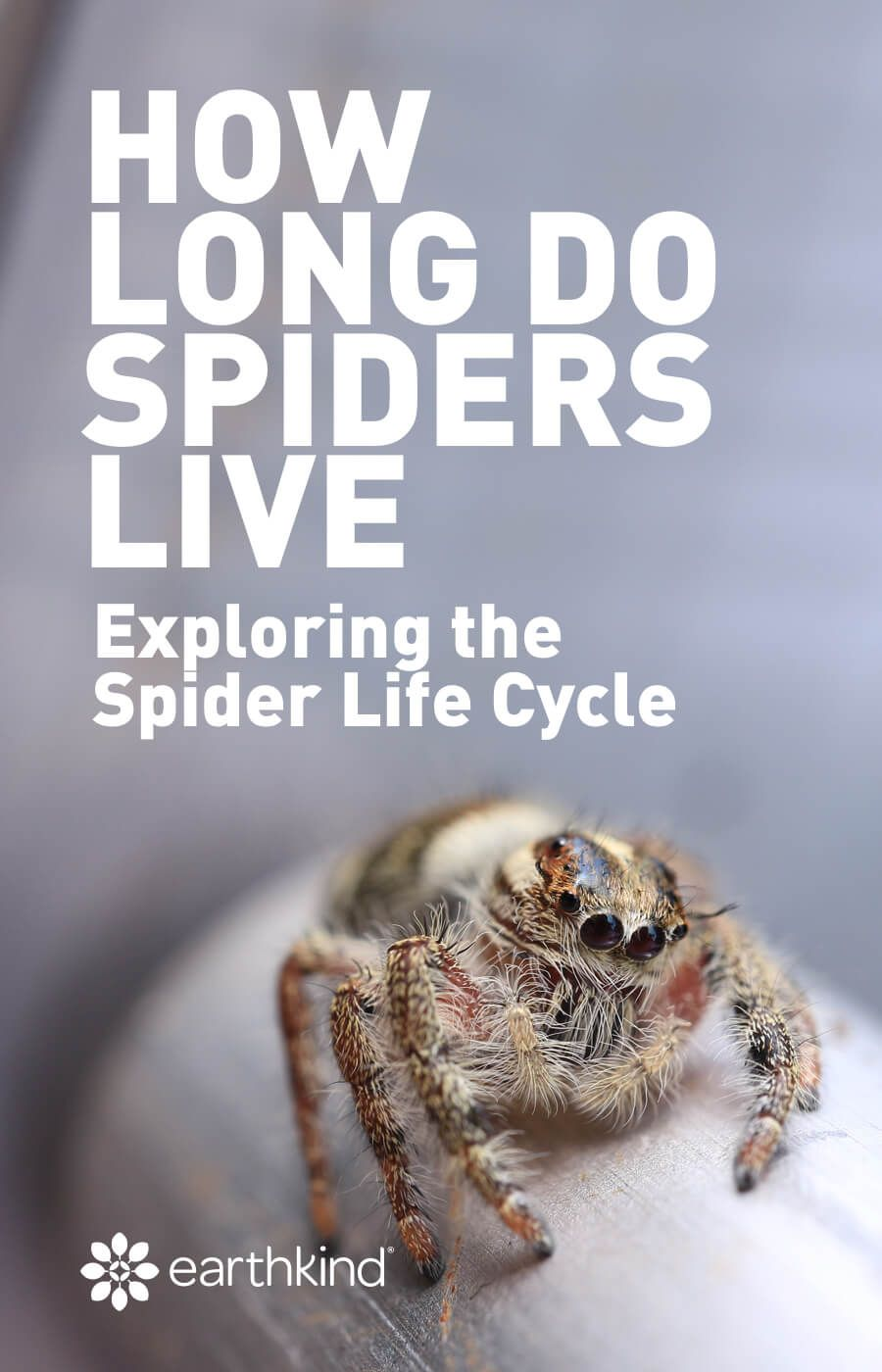 How Long Do Spiders Live Spider Life Cycle Lifespan Life Cycles Life Household Spiders