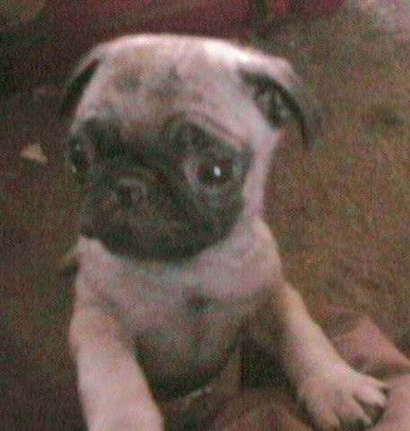 Chinese Pug Puppy 4 Sale Chinese Pug Pug Puppy Pug Puppies