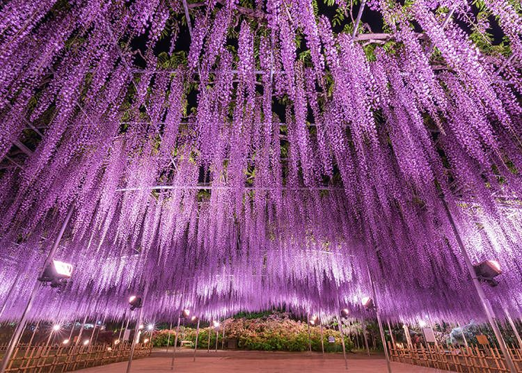 Ashikaga Flower Park Breathtaking Wisteria Wonderland And A Cnn Dream Destination Video Live Japan Travel Guide Ashikaga Wisteria Tree Wisteria