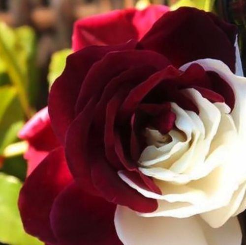 10-semi-ROSA-BICOLORE-ROSSO-BIANCO-rare-rose-seeds