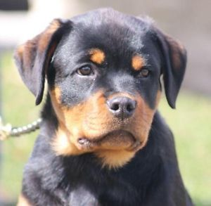 6 Month Old Rottweiler Puppies Have Been Placed Cambridge