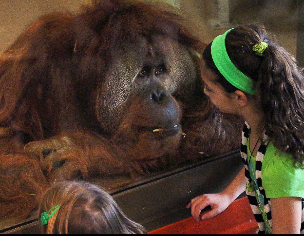 Up Close With A Very Smart Orangutan At The Indianapolis Zoo Orangutan Indianapolis Zoo Animal Habitats