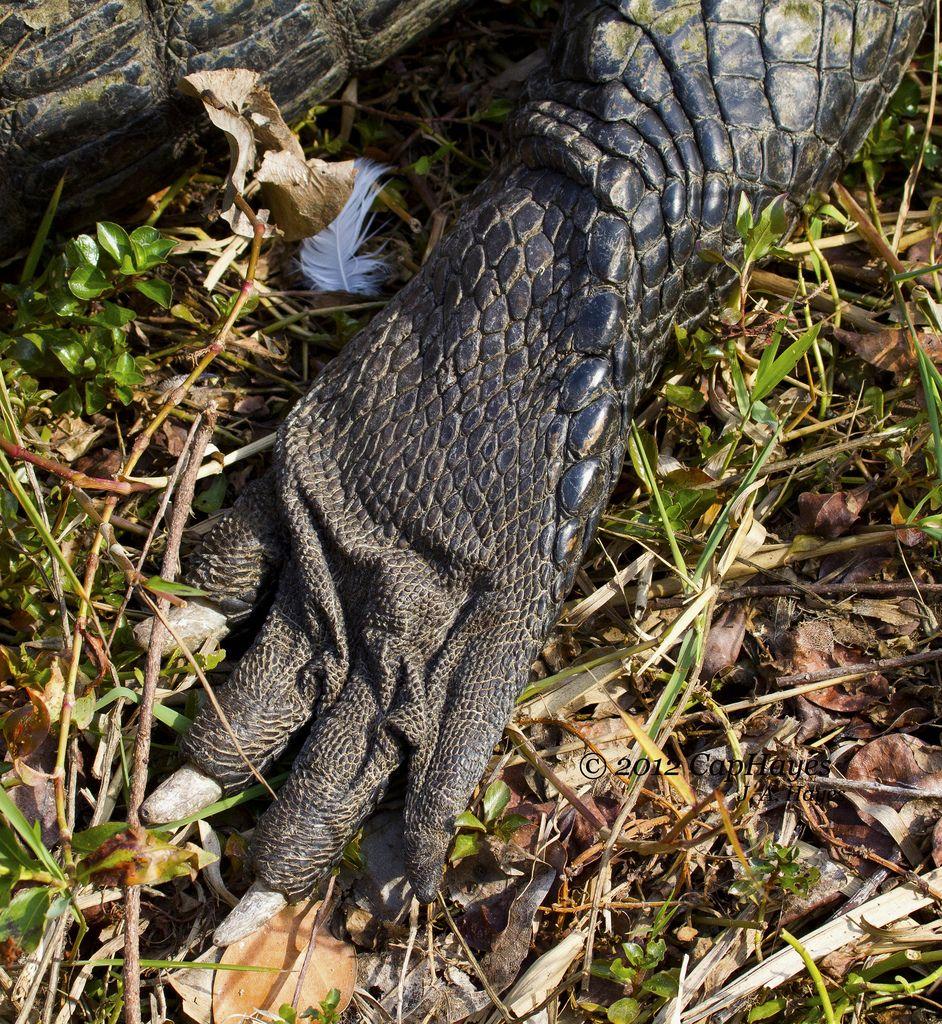 Alligator Paw 2012 01-09 Royal Palm_Ever Nat Park IMG_0334