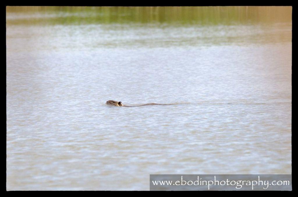 Ragondins - Le ragondin ( Myocastro Coypus) est un gros rongeur semi-aquatique mesurant entre 35 et 65cm. C'est une espèce invasive qui a été éradiquer dans de nombreux pays (GB, IRL..) ainsi que dans plusieurs régions française - © 2013