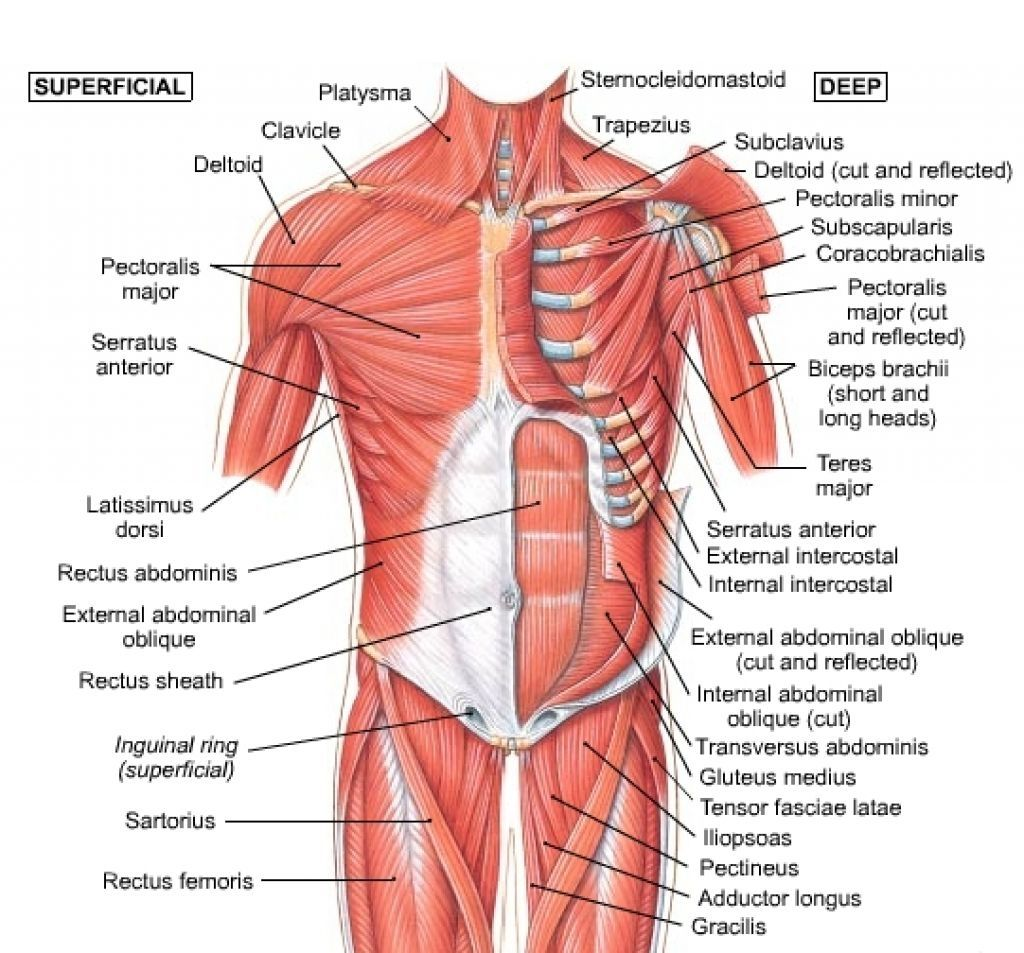 Chart Of Human Shoulder Muscles Chest Muscles Anatomy  Anatomy