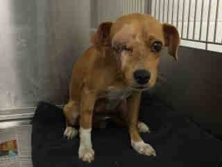 Needs Urgent Rescue High Kill Shelter Downey Ca Animal Id A4789143 I Don T Have A Name Yet And I M An Approximately 2 Year Ol Animal Rescue Save Animals Chihuahuas For Adoption