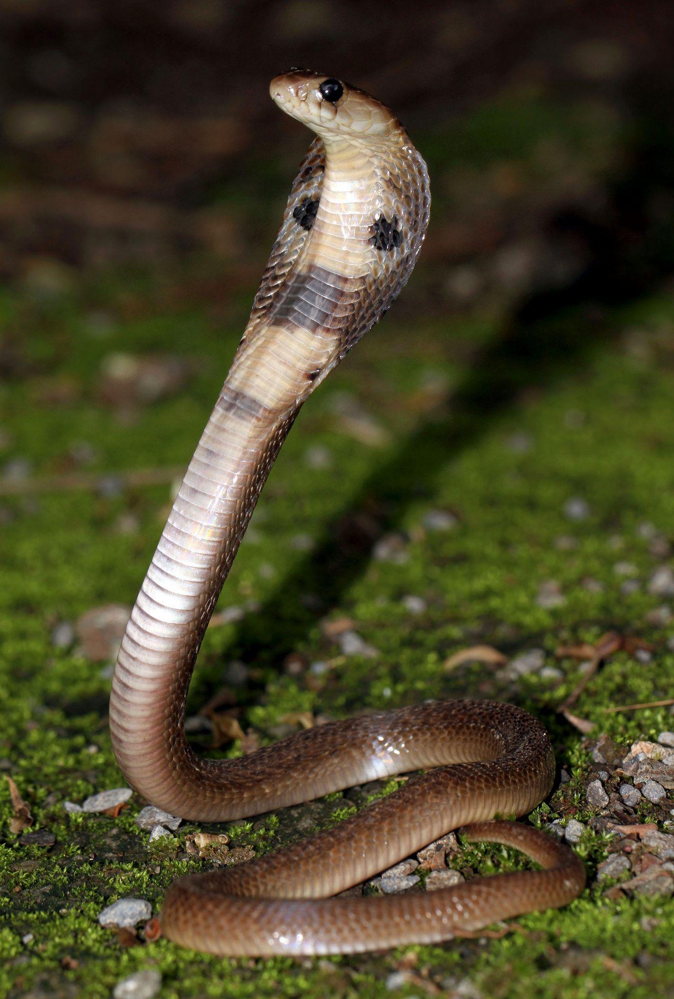 Indian cobra (Naja naja) Snake, Cobra snake, Indian cobra