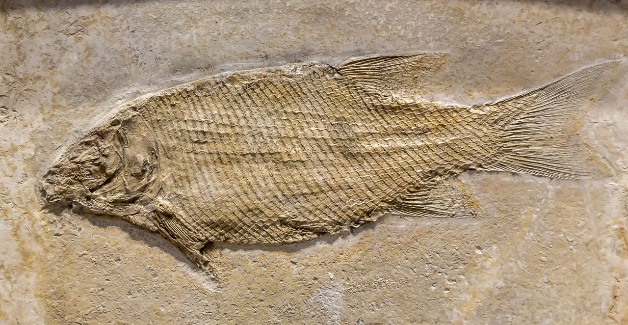 Fish Fossil Artifact at the Carnegie Museum of Natural History