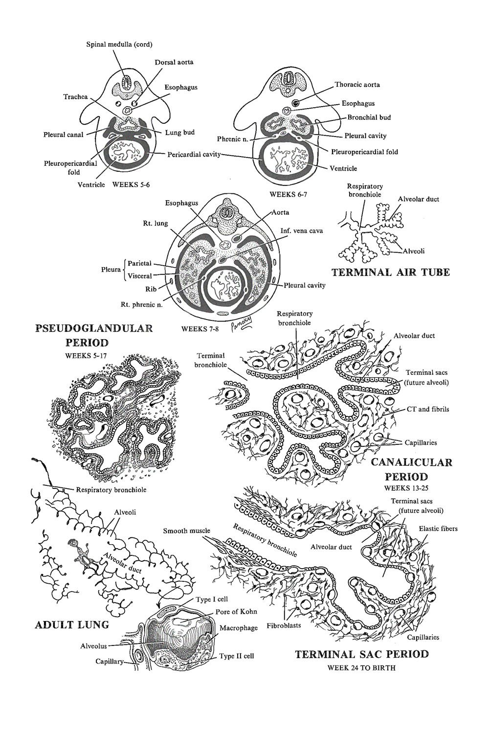 Development Of The Lower Respiratory System The Lungs And Terminal